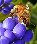 White Grape Posters - Honeybee and Muscari Poster by Chris Berry