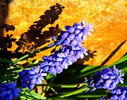 Woman Head Photograph Prints - Honeybee In Flight to Grape Hyacinth Print by Chris Berry