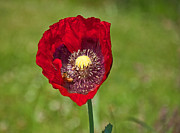 Papaver Orientale Prints - Honeybee Pollinating an Oriental Red Poppy Flower Print by Valerie Garner