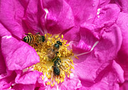 Rose Petals Prints - Honeybees on Pink Rose Print by Sharon  Talson
