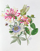Passiflora Paintings - Honeysuckle and Passion flower  by Ursula Hodgson
