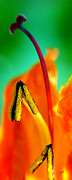 Vivid Colorful Flowers Prints - Honeysuckle Spectacular Print by Ben and Raisa Gertsberg