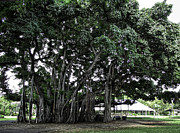 Banyan Tree Framed Prints - Honolulu Banyan Tree Framed Print by Daniel Hagerman