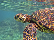 Hawaiian Green Sea Turtle Photos - Honu Hello by Bette Phelan