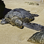 Laniakea Beach Prints - Honu Print by Rod Sterling