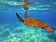 Hawaiian Green Sea Turtle Photos - Honu Wings Up by Bette Phelan