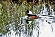 Bill Hosford - Hooded Merganser