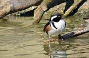 James Lewis Art - Hooded Merganser Drake Resting by James Lewis