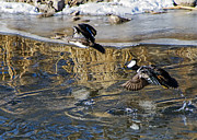 Stephen  Johnson - Hooded Merganser Ducks...