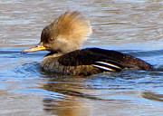 Lori Lafargue - Hooded Merganser--female