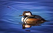 Janis Knight - Hooded Merganser