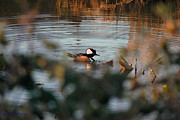 Ed Nicholles - Hooded Merganser Male