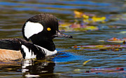 Framedart Prints - Hooded Merganser Print by Scott Helfrich