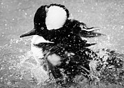 Paulette Thomas Photography Prints - Hooded Merganser taking a Bath Print by Paulette  Thomas