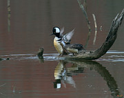 Birds - Hooded Mergansers DWF017 by Gerry Gantt
