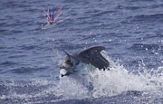 Blue Marlin Photo Metal Prints - Hooked Up Metal Print by Carol Lynne