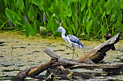 Pickerel Posters - Hooligan Heron Poster by Al Powell Photography USA