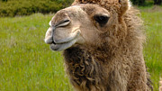 Dromedary Photos - Hopeful Camel by Kae Cheatham