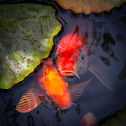 Koi Pond Art - Hopeful Faces by Priya Ghose