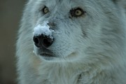 Wolf Portrait Prints - Hopeful Gaze Print by Adam Jewell
