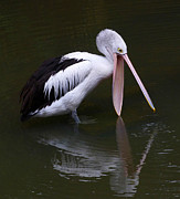 Saheed Framed Prints - Hopeful Pelican Framed Print by Margaret Saheed