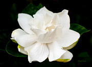 Gardenia Photos - Hopeful Sweet Love by Michelle Wiarda