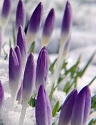 Violett Photos - Hopefully The Last Snow by Andreas Wemmje