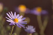 Aster Flower Prints - Horay Spine Aster Print by Neal Hebert