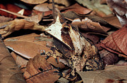 Forest Floor Photos - Horned Frog Camouflaged in Leaf Litter by Michael and Patricia Fogden