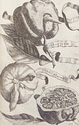 Fruit Drawings Posters - Horned Orange Poster by Cornelis Bloemaert