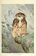 Audubon Drawings Posters - Horned Owl Poster by Philip Ralley