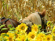 Corn Wagon Framed Prints - Horse and Sunflowers Framed Print by Kathy Barney