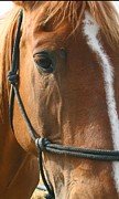 Auction Digital Art Prints - Horse at auction waiting to go to a new home Print by Judy Kelly