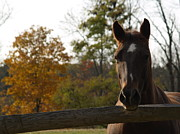 Thoroughbred Gelding Prints - Horse in Autumn Light Print by Anna Lisa Yoder
