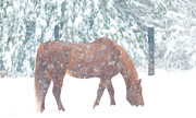 Christopher L Nelson - Horse in Winter