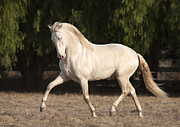Palomino Photos - Horse of Palest Gold by Carol Walker