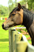 Stallion Photo Originals - Horse posing proudly. by Tommy Hammarsten