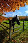 Horse Under Tree By Fence Print by Dan Friend