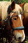 Horses In Harness Prints - Horsehead Print by Susan Crossman Buscho
