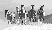 Quarter Horses Acrylic Prints - Horses Crest the Hill Acrylic Print by Carol Walker