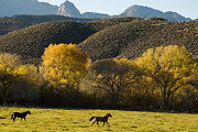 Geobob Metal Prints - Horses Frolicking in Rockville Utah Metal Print by Robert Ford