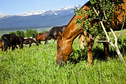 Pam Moore - Horses grazing in pasture