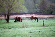 Horses On Sale Framed Prints - Horses Grazing Framed Print by Peter Penny
