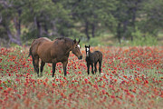 Horse Images Posters - Horses in a Field of Texas Wildflowers 2 Poster by Rob Greebon