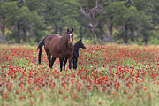 Horse Images Posters - Horses in a Field of Texas Wildflowers Poster by Rob Greebon