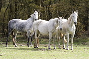 Gray Horses Photos - horses in a meadow Netherlands by Ronald Jansen