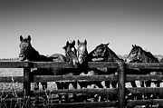 Tony DellOrfano - Horses in Black and White