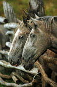 Grey Horse Photos - Horses Looking Through The Fence by Angel  Tarantella
