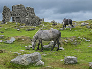 Patricia Hofmeester Metal Prints - Horses on the moors of Dartmoor Metal Print by Patricia Hofmeester