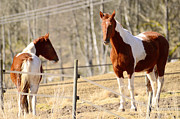 Mare Photo Originals - Horses posing by Tommy Hammarsten